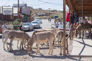 burros in Oatman